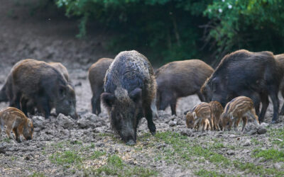 The Growing Feral Hog Invasion and How to Stop It